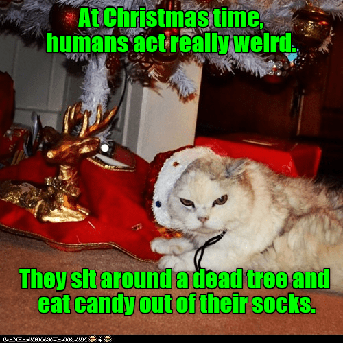 Cat - AtChristmas time humans actreally weird They sit around adead tree and eat candy out of their socks. ICANHASCHEE2EURGER cOM
