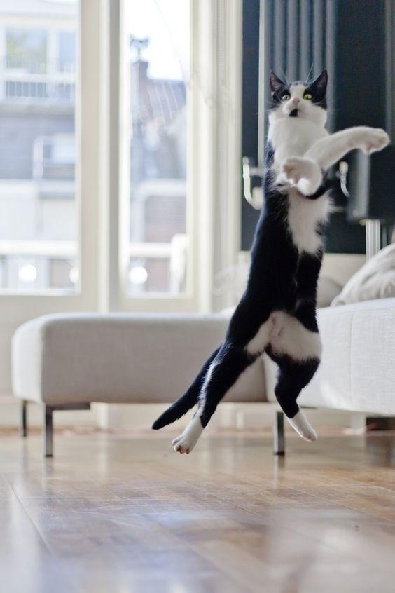 tuxedo cat - Canidae