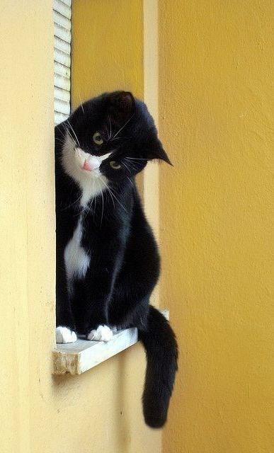 tuxedo cat - Cat