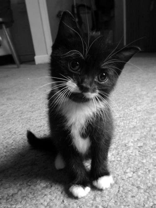tuxedo cat - Cat - CISNENFGRO
