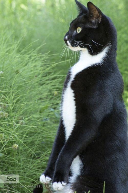 tuxedo cat - Cat - 500 500px.cam/photo11583108