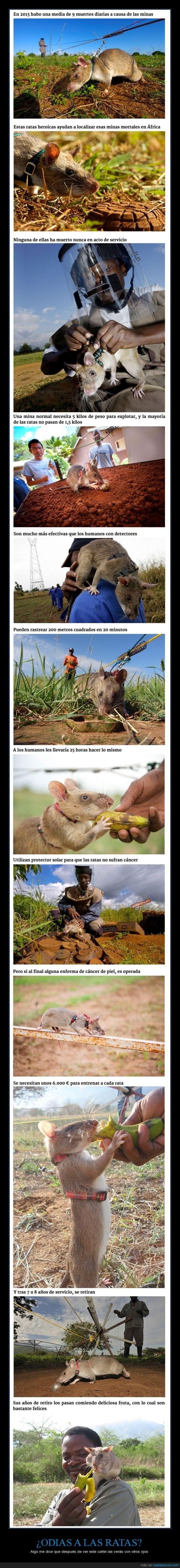 curiosidades sobre los usos de las ratas en otros paises