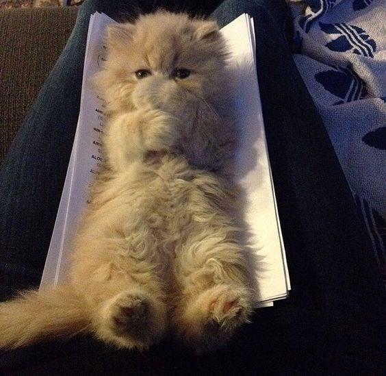 Cat - A Amo ALOL