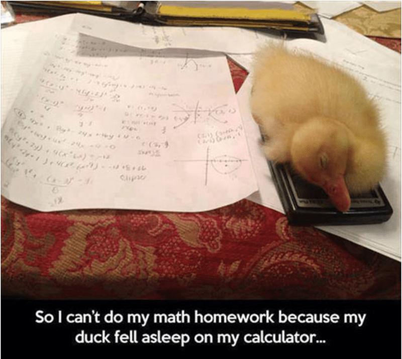 Companion dog - Cipi So I can't do my math homework because my duck fell asleep on my calculator..