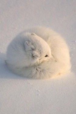 cute curled up white fox in the snow