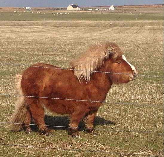 cute miniature horse