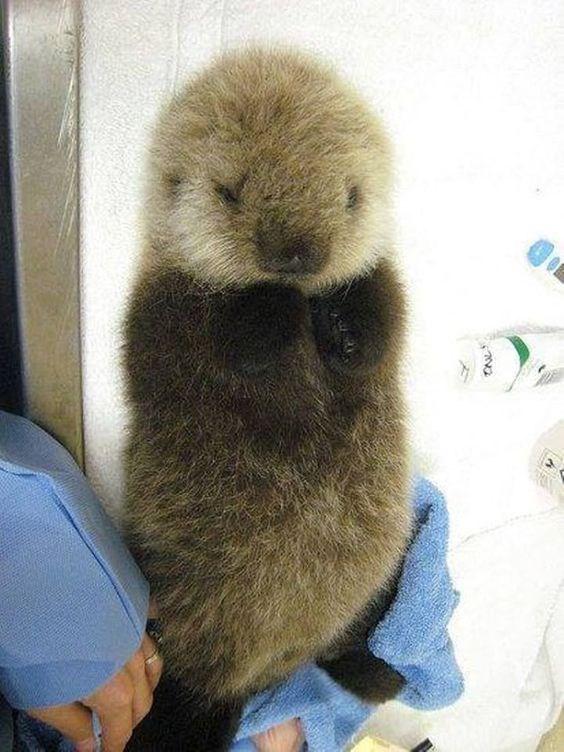 Furry otter