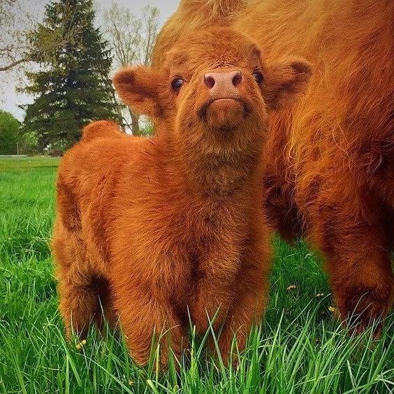 cute red heifer calf on the grass next to momma
