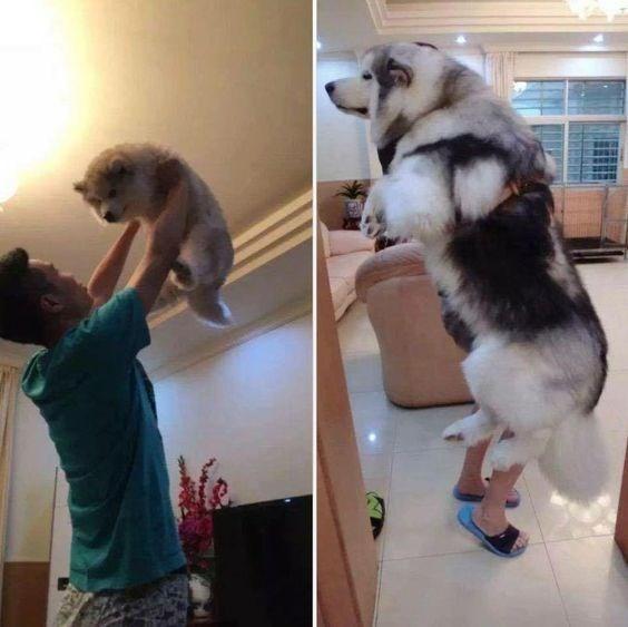 pupp vs fully grown husky pics