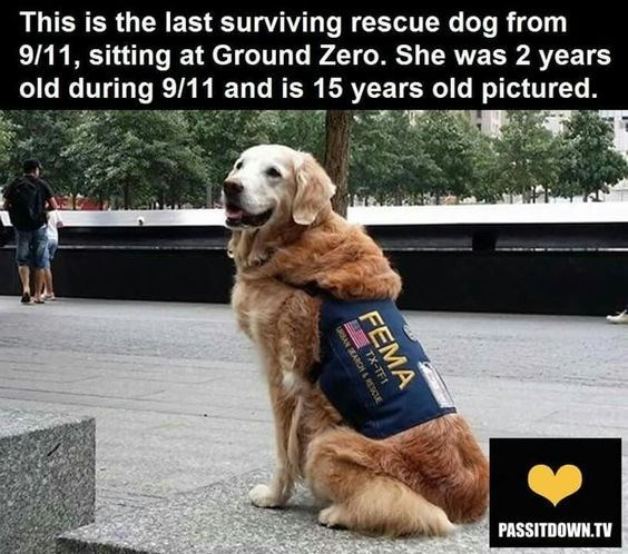 Dog - This is the last surviving rescue dog from 9/11, sitting at Ground Zero. She was 2 years old during 9/11 and is 15 years old pictured. PASSITDOWN.TV FEMA TX-IF1 AN SEARCH &RESC