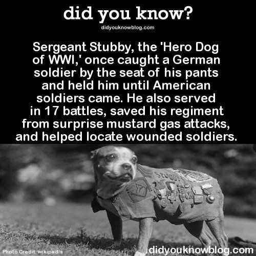 Text - did you know? didyouknowblog.com Sergeant Stubby, the 'Hero Dog of WWI,' once caught a German soldier by the seat of his pants and held him until American soldiers came. He also served in 17 battles, saved his regiment from surprise mustard gas attacks, and helped locate wounded soldiers. STREE didyoukhowblog.com Photo Credit: wikipedia