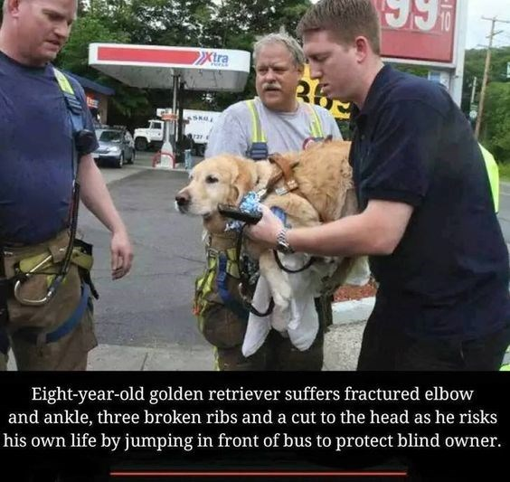 Dog - Xtra Eight-year-old golden retriever suffers fractured elbow and ankle, three broken ribs and a cut to the head as he risks his own life by jumping in front of bus to protect blind owner.