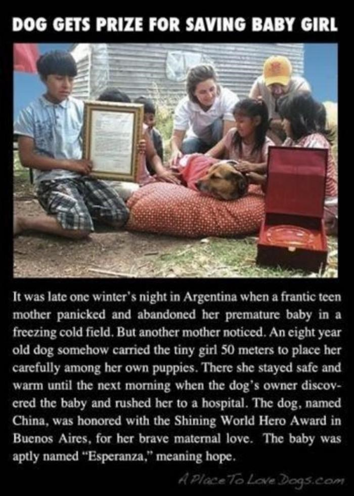 Text - DOG GETS PRIZE FOR SAVING BABY GIRL It was late one winter's night in Argentina when a frantic teen mother panicked and abandoned her premature baby in a freezing cold field. But another mother noticed. An eight year old dog somehow carried the tiny girl 50 meters to place her carefully among her own puppies. There she stayed safe and warm until the next morning when the dog's owner discov- ered the baby and rushed her to a hospital. The dog, named China, was honored with the Shining Worl
