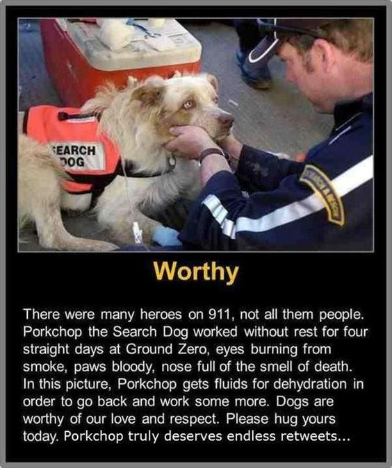 Dog - EARCH pOG Worthy There were many heroes on 911, not all them people. Porkchop the Search Dog worked without rest for four straight days at Ground Zero, eyes burning from smoke, paws bloody, nose full of the smell of death. In this picture, Porkchop gets fluids for dehydration in order to go back and work some more. Dogs are worthy of our love and respect. Please hug yours today. Porkchop truly deserves endless retweets... CH& N