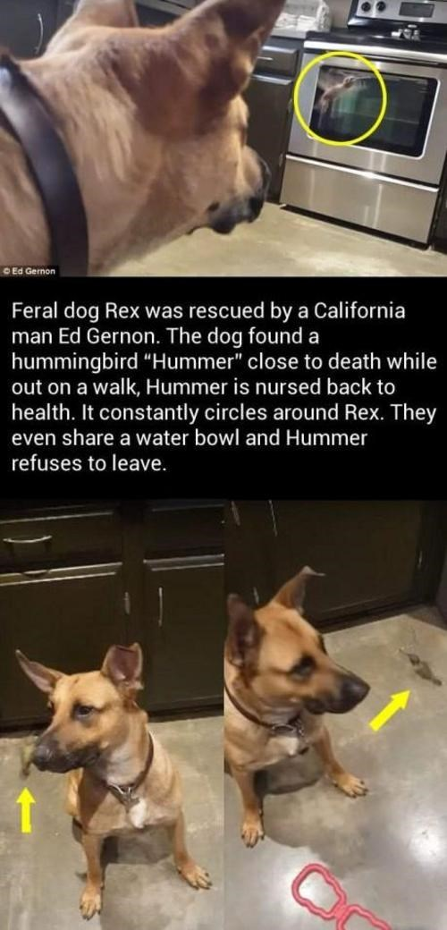 "Mammal - O Ed Gernon Feral dog Rex was rescued by a California man Ed Gernon. The dog found a hummingbird ""Hummer"" close to death while out on a walk, Hummer is nursed back to health. It constantly circles around Rex. They even share a water bowl and Hummer refuses to leave."