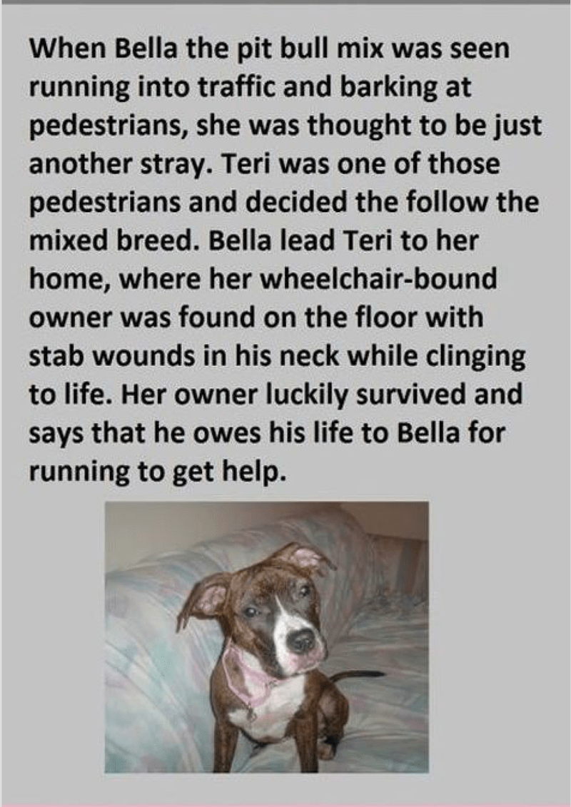 Text - When Bella the pit bull mix was seen running into traffic and barking at pedestrians, she was thought to be just another stray. Teri was one of those pedestrians and decided the follow the mixed breed. Bella lead Teri to her home, where her wheelchair-bound owner was found on the floor with stab wounds in his neck while clinging to life. Her owner luckily survived and says that he owes his life to Bella for running to get help.
