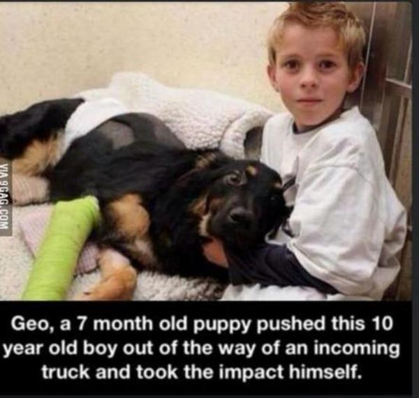 Dog breed - Geo, a 7 month old puppy pushed this 10 year old boy out of the way of an incoming truck and took the impact himself. VIA 9GAG COM