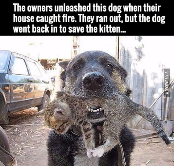 Dog - The owners unleashed this dog when their house caught fire. They ran out, but the dog went back in to save the kitten... VIA 9GAG.COM