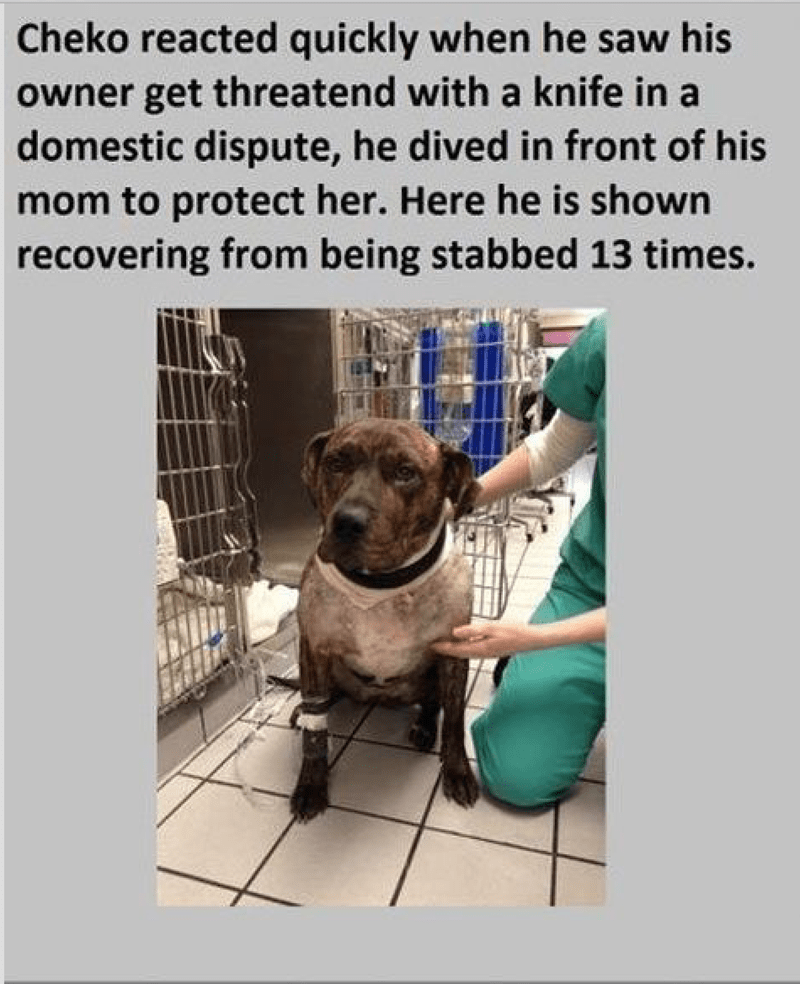 Dog - Cheko reacted quickly when he saw his owner get threatend with a knife in a domestic dispute, he dived in front of his mom to protect her. Here he is shown recovering from being stabbed 13 times.
