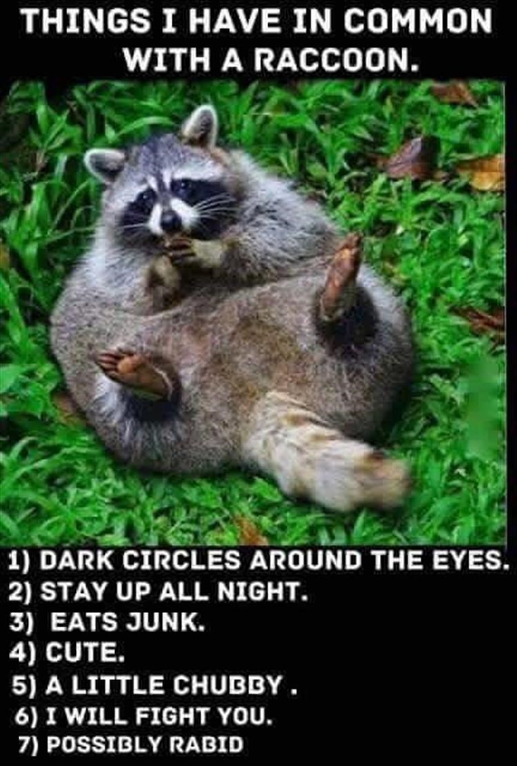 Procyon - THINGS I HAVE IN COMMON WITH A RACCOON. 1) DARK CIRCLES AROUND THE EYES. 2) STAY UP ALL NIGHT 3) EATS JUNK. 4) CUTE. 5) A LITTLE CHUBBY 6) I WILL FIGHT YOU 7) POSSIBLY RABID