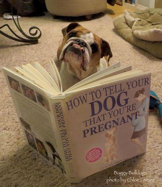 Box - HOW TO TELL YOUR DOG THAT YOURE PREGNANT webofes gvide Dr fewis Kirkhon Baggy Bulldogs photo by Chloe Lerner OUR DOG PREGNANT THA MOH