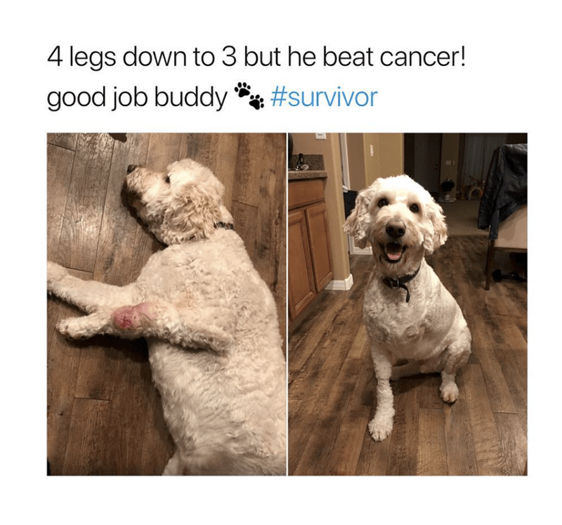 wholesome meme of a dog that beat cancer