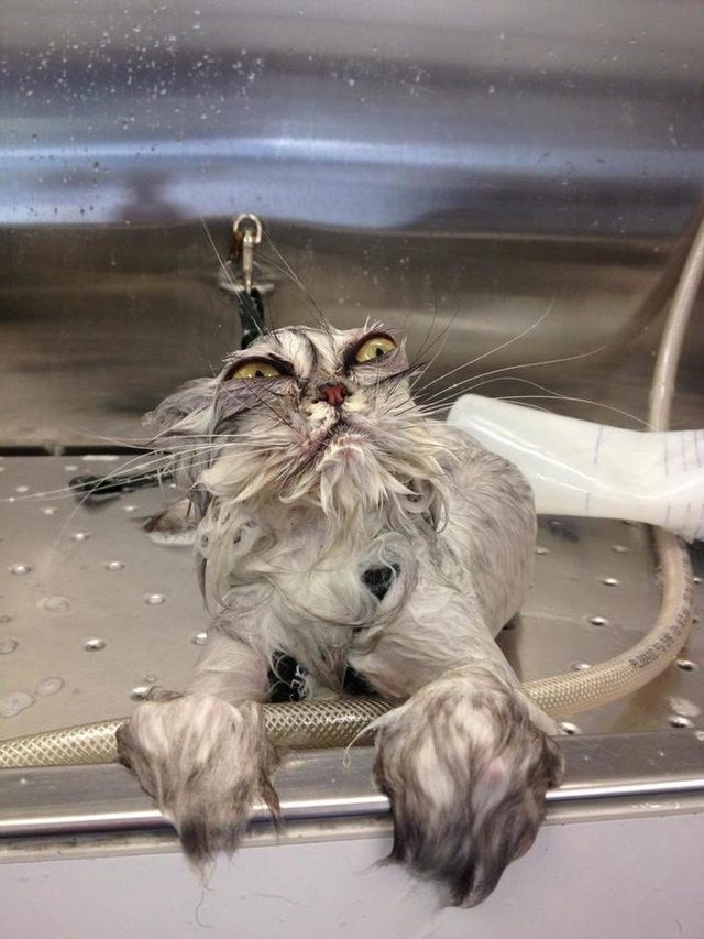 cute cat wet from a bath and looks mad