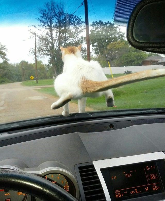 cute cat sitting on a car windshield and its tail is pressed weirdly