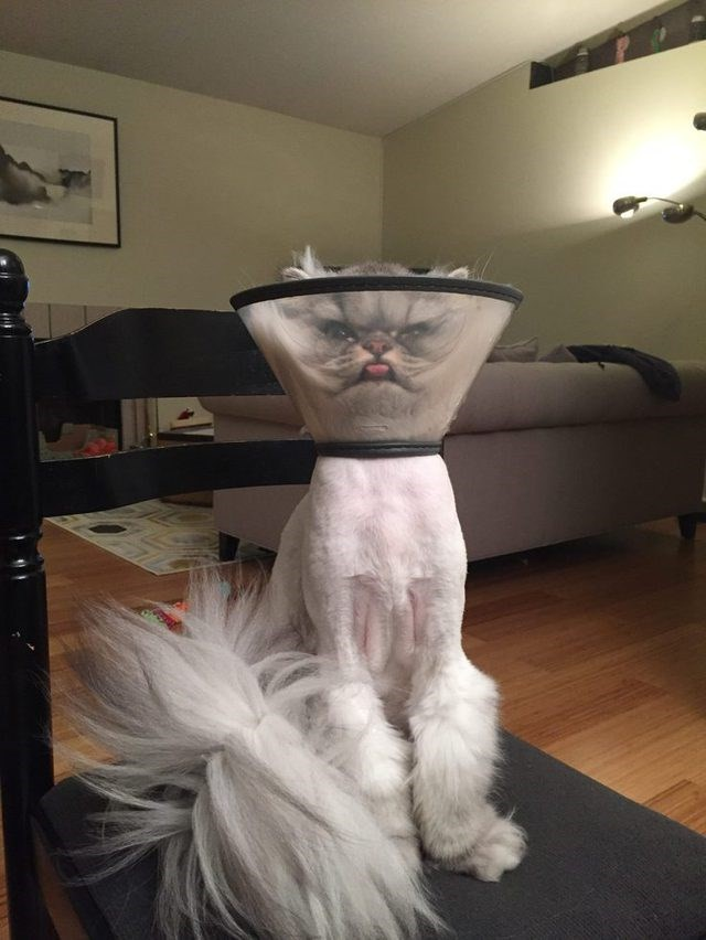 cute cat meme with its face in an elizabethen cone