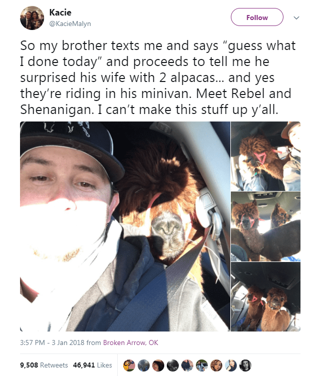 """Nose - Kacie Follow @KacieMalyn So my brother texts me and says """"guess what I done today"""" and proceeds to tell me he surprised his wife with 2 alpacas... and yes they're riding in his minivan. Meet Rebel and Shenanigan. I can't make this stuff up y'all. 3:57 PM - 3 Jan 2018 from Broken Arrow, OK 9,508 Retweets 46,941 Likes"""