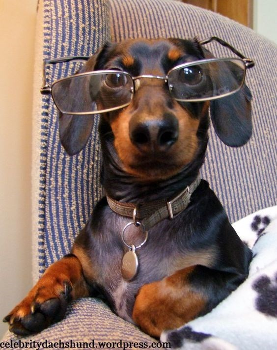 glasses on animals - Dog - celebritydachshund.wordpress.com