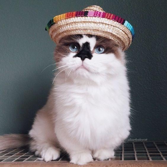 Cat - albertbabycat