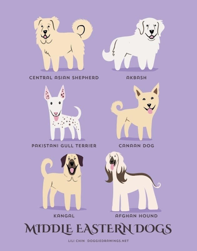 Mammal - CENTRAL ASIAN SHEPHERD AKBASH PAKISTANI GULL TERRIER CANAAN DOG KANGAL AFGHAN HOUND MIDDLE EASTERN DOGS LILI CHIN DOGGIEDRAWINGS.NET