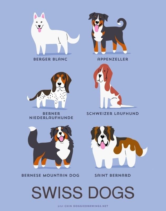 Dog - BERGER BLANC APPENZELLER BERNER NIEDERLAUFHUNDE SCHWEIZER LAUFHUND BERNESE MOUNTAIN DOG SAINT BERNARD SWISS DOGS LILI CHIN DOGGIEDRAWINGS.NET