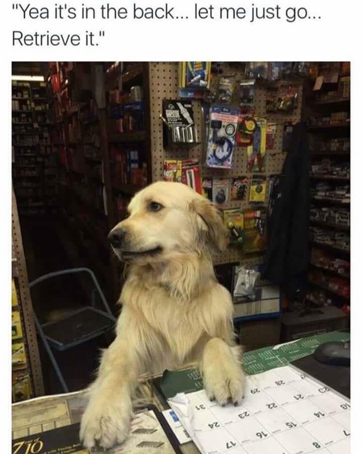 "dog meme of a golden retriever saying he will ""retrieve"" something"
