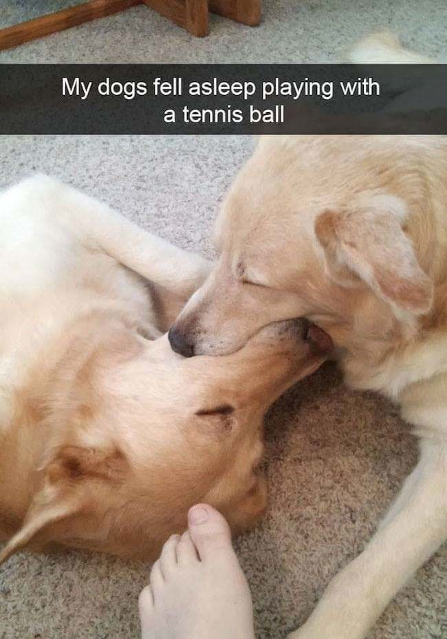 dog meme of two dogs that fell asleep together with a tennis ball in their mouths