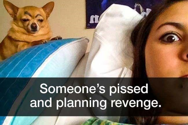 dog meme of a chihuahua that looks pissed at their owner