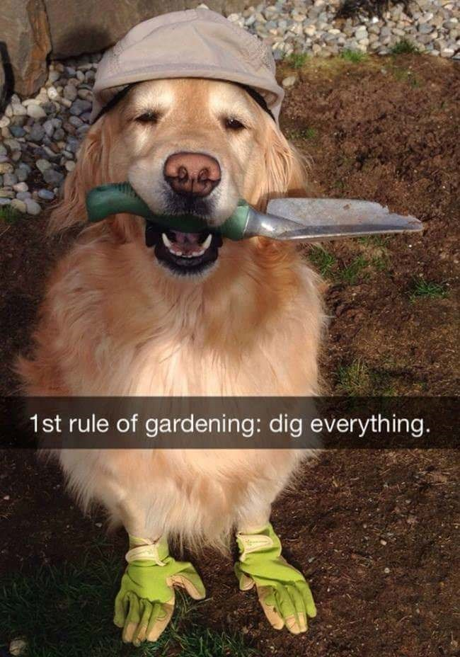 dog meme of a golden wearing gloves and holding a shovel