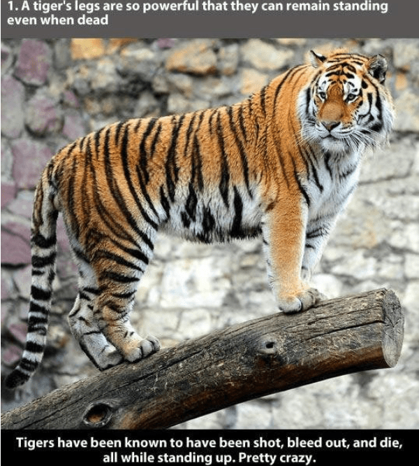 Tiger - 1. A tiger's legs are so powerful that they can remain standing even when dead Tigers have been known to have been shot, bleed out, and die,