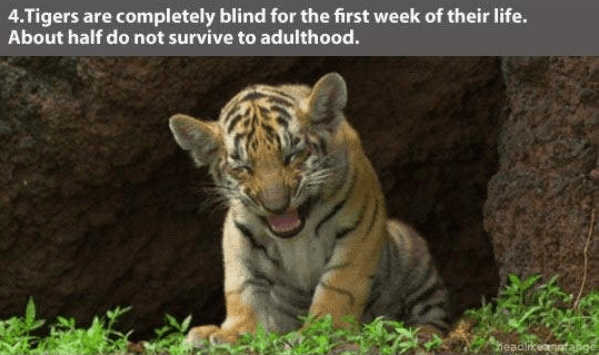 Tiger - 4.Tigers are completely blind for the first week of their life. About half do not survive to adulthood. headikeandaige