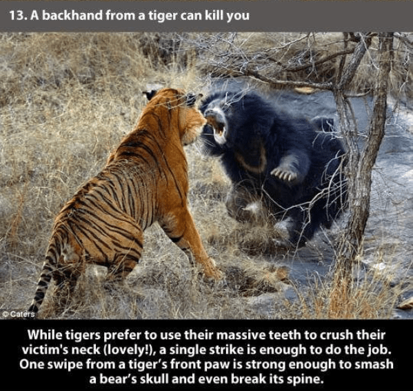 Terrestrial animal - 13.A backhand from a tiger can kill you Caters While tigers prefer to use their massive teeth to crush their victim's neck (lovely!), a single strike is enough to do the job. One swipe from a tiger's front paw is strong enough to smash a bear's skull and even break its spine.