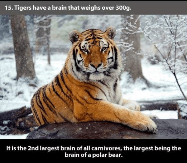 Tiger - 15. Tigers have a brain that weighs over 300g. It is the 2nd largest brain of all carnivores, the largest being the brain of a polar bear.
