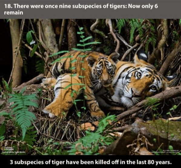 Tiger - 18. There were once nine subspecies of tigers: Now only 6 remain o Jaoce Ph abyS W 3 subspecies of tiger have been killed off in the last 80 years.