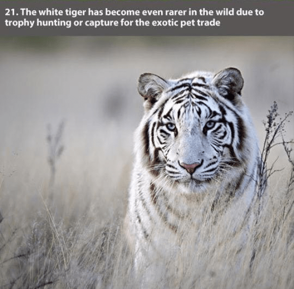 Wildlife - 21. The white tiger has become even rarer in the wild due to trophy hunting or capture for the exotic pet trade