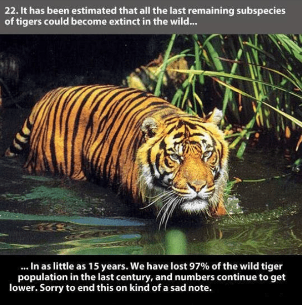 Tiger - 22. It has been estimated that all the last remaining subspecies of tigers could become extinct in the wild... .In as little as 15 years. We have lost 97% of the wild tiger population in the last century, and numbers continue to get lower. Sorry to end this on kind of a sad note.