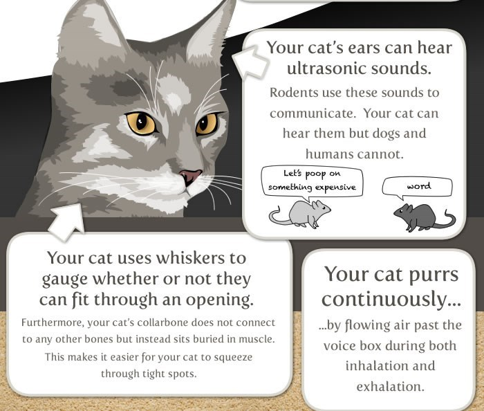 Cat - Your cat's ears can hear ultrasonic sounds. Rodents use these sounds to communicate. Your cat can hear them but dogs and humans cannot. Let's poop on word something expensive Your cat uses whiskers to Your cat purrs continuously... gauge whether or not they can fit through an opening. Furthermore, your cat's collarbone does not connect ...by flowing air past the to any other bones but instead sits buried in muscle. voice box during both This makes it easier for your cat to squeeze inhalati