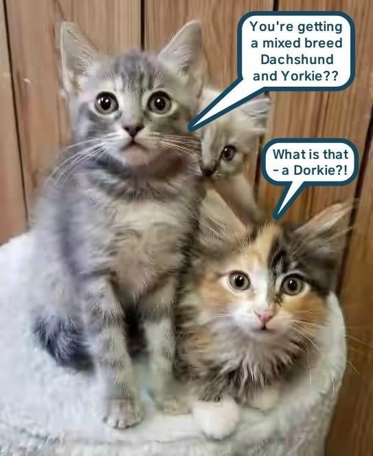 Cat - You're getting a mixed breed Dachshund and Yorkie?? What is that -a Dorkie?!