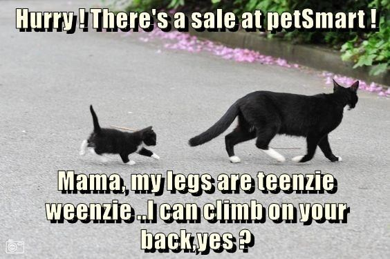 Cat - Hurry!There's a sale at petSmart ! Mama,my legs are teenzie weenzieIcanclimbonyour backyes?