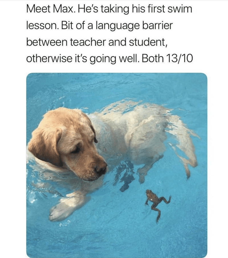 Canidae - Meet Max. He's taking his first swim lesson. Bit of a language barrier between teacher and student, otherwise it's going well. Both 13/10