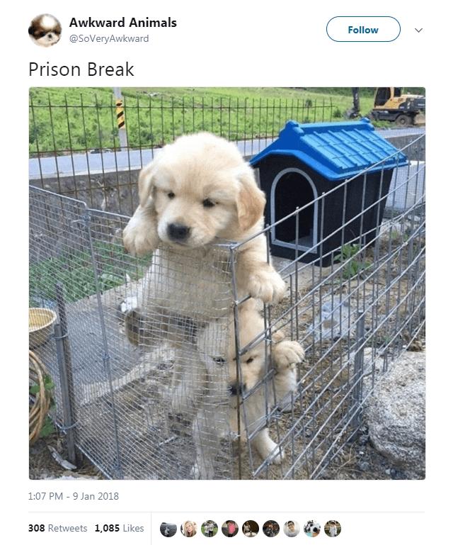 Dog - Awkward Animals Follow V @SoVeryAwkward Prison Break 1:07 PM -9 Jan 2018 308 Retweets 1,085 Likes